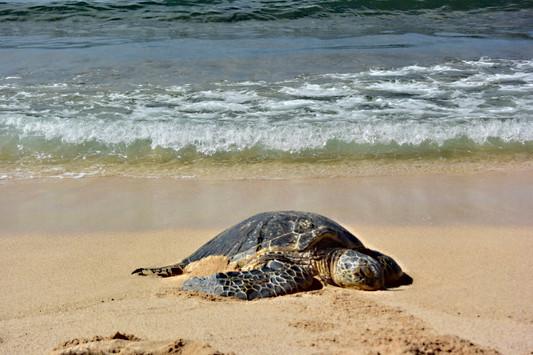 Green Sea Turtle as Honu
