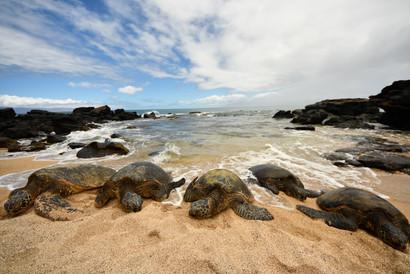 Hawaiian Sea Turtles