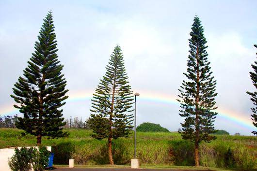 Rainbow and Norfolk Isle Pine Trees