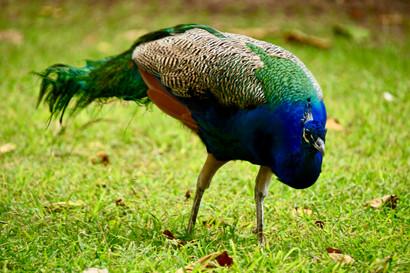 Indian Peafowl