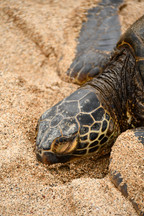 Hawaiian Sea Turtle aka Honu