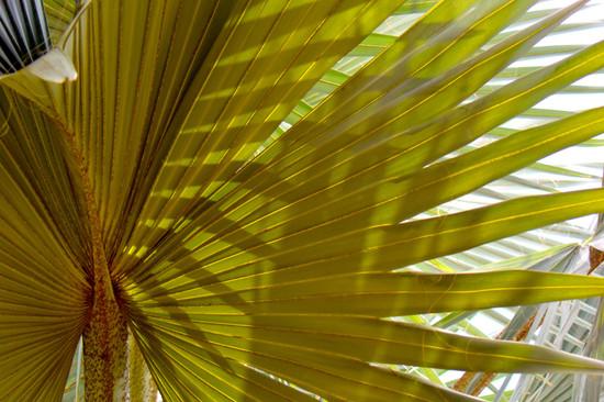 Loulu (Fan Palm)