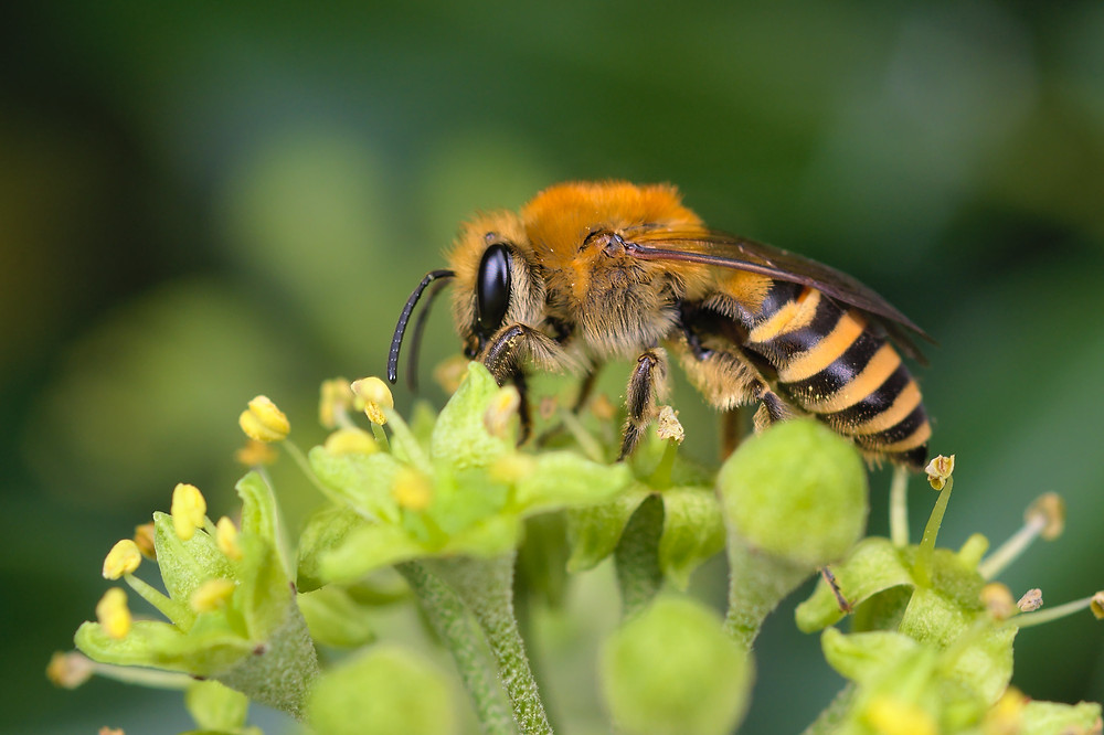An Ivy Bee (Colletes hederae) feeding on ivy flowers