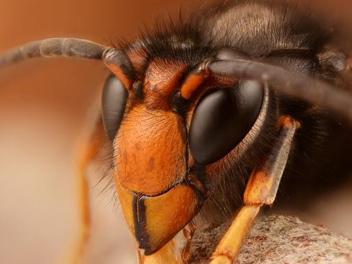 Is this an Asian hornet?