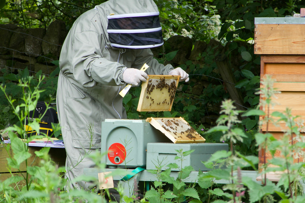 Harry checking a mini hive in early summer