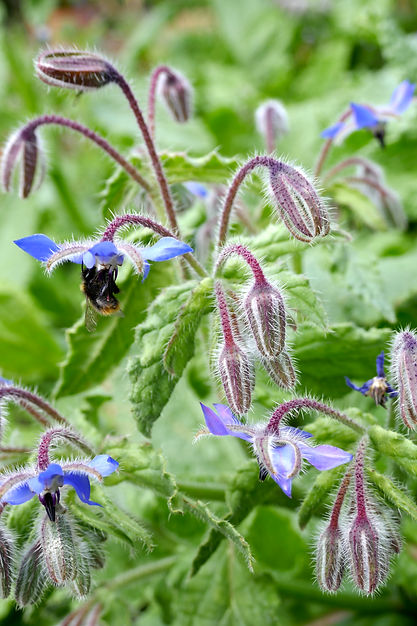 A picture of blue borage flowers with a bumblebee