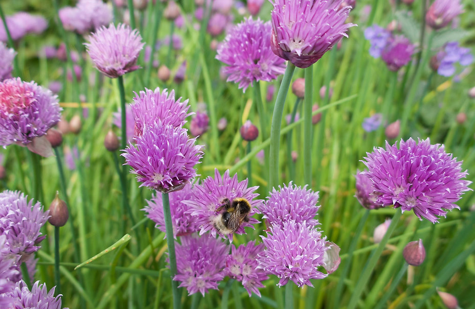A bumblebee on a pink chive flower.jpeg