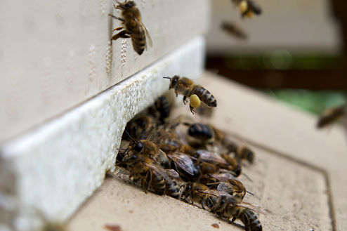 A worker honeybee bringing pollen back t