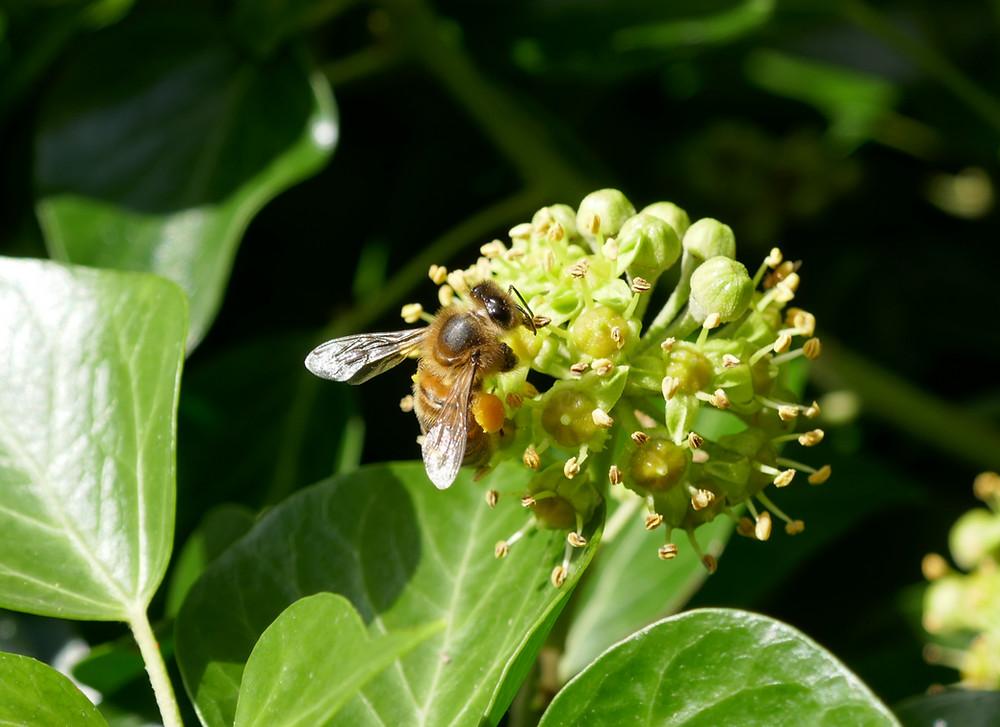 A honeybee feeding on an ivy flower