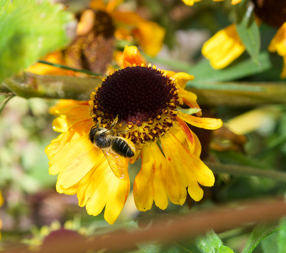 The solitary bee Megachile on Helenium