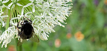A bumblebee on a white allium flower_edi