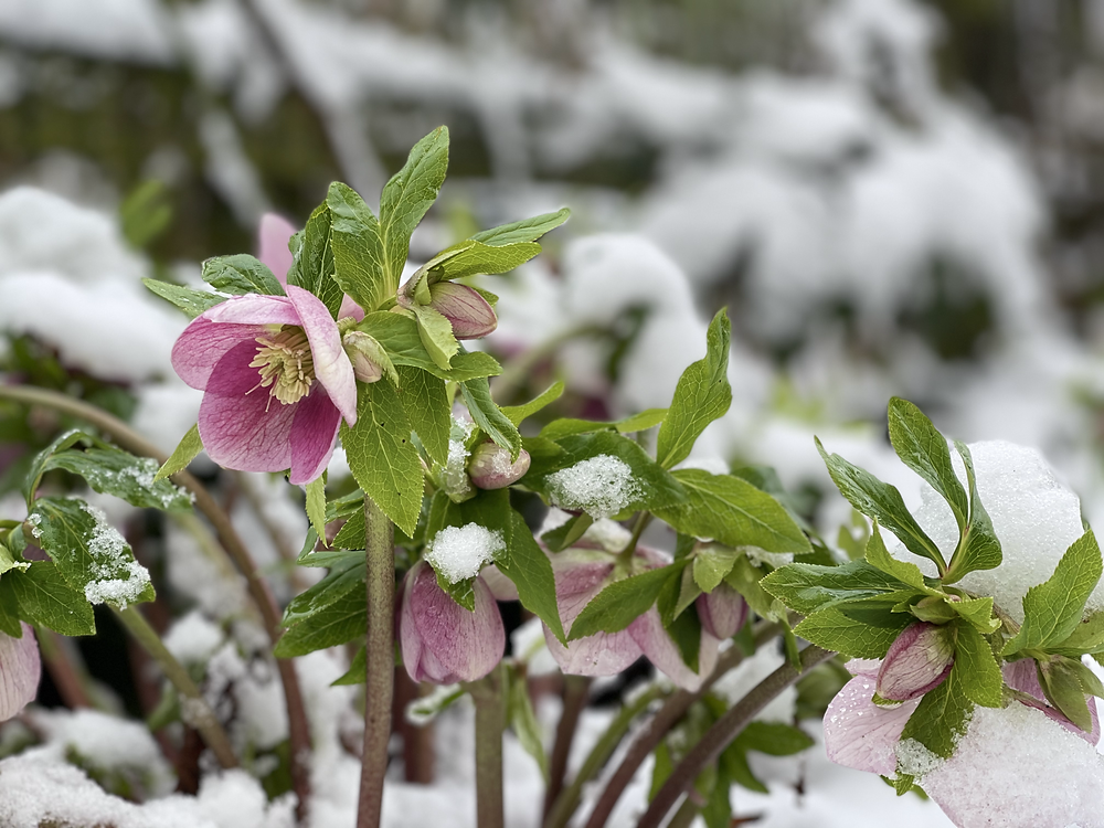 Pink Lenten Rose - hellebore flowers in the snow. Perfect for spring honey bees.
