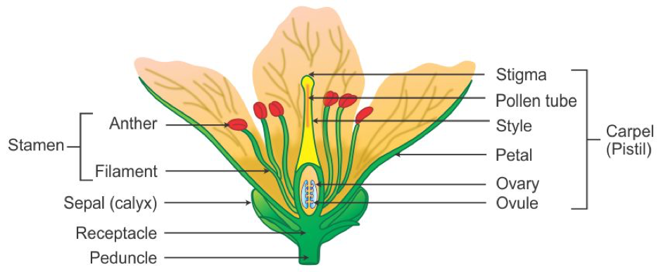A diagram of the inside of a flower