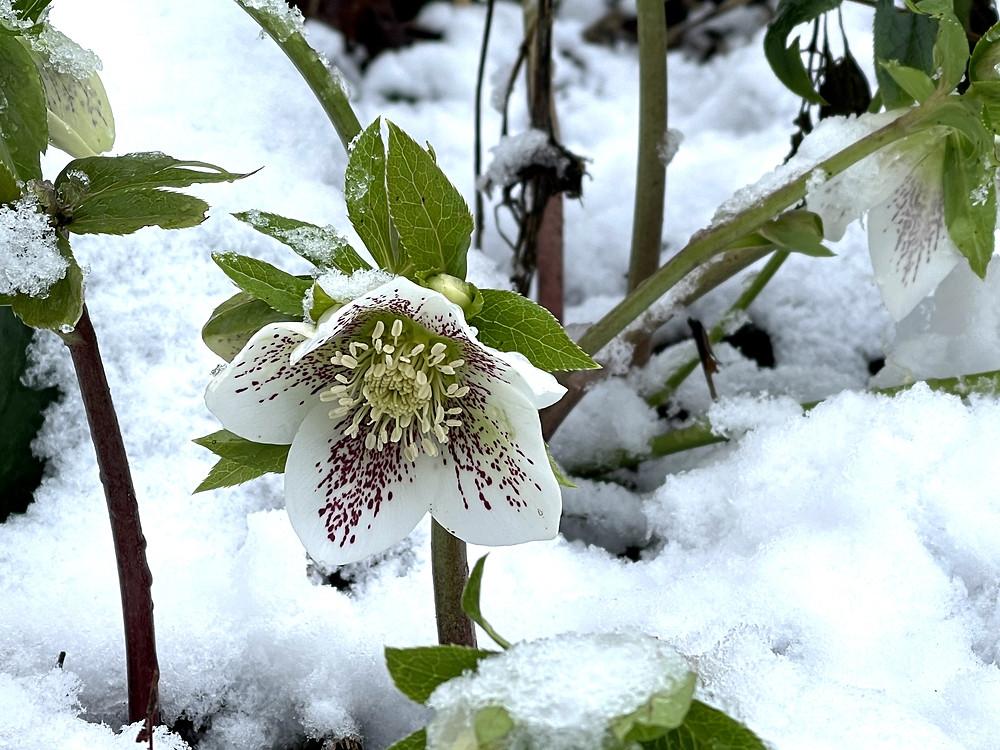 Spotted Helleborus hybrid (Helleborus x hybridus) flower in the snow