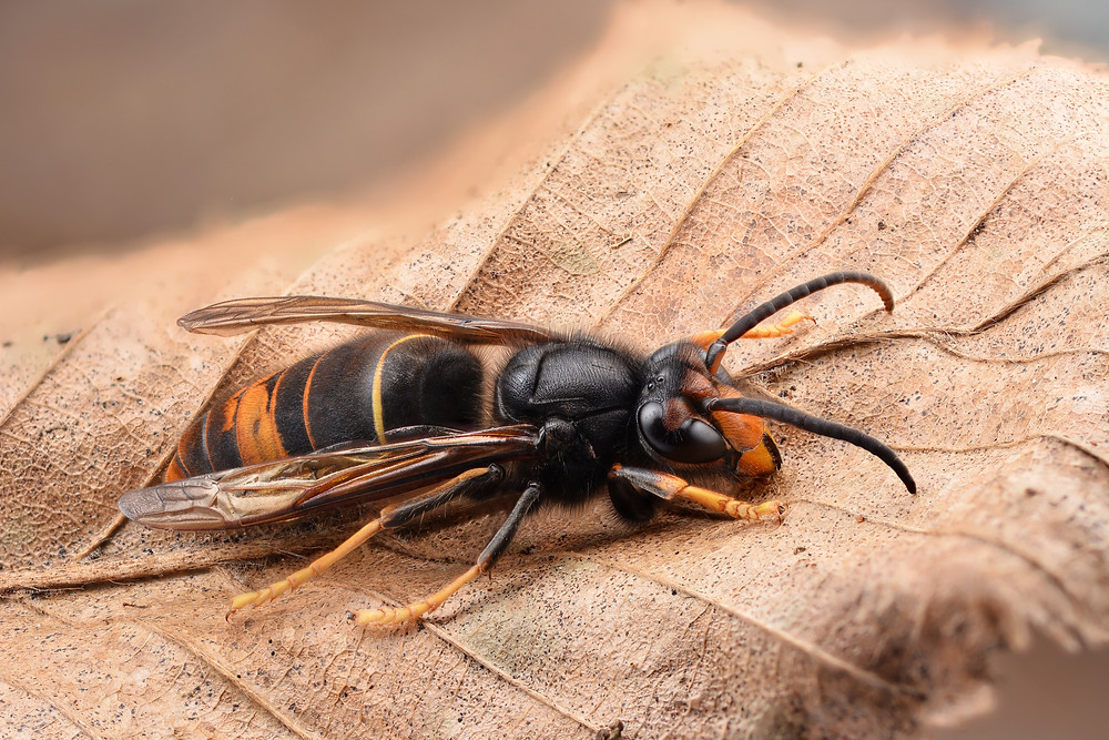 The Asian Hornet is an introduced predator that could seriously threaten honeybee and other insect populations