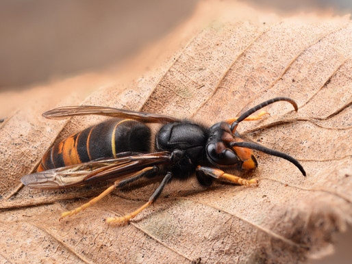 The Asian Hornet - mad, bad and dangerous to know?