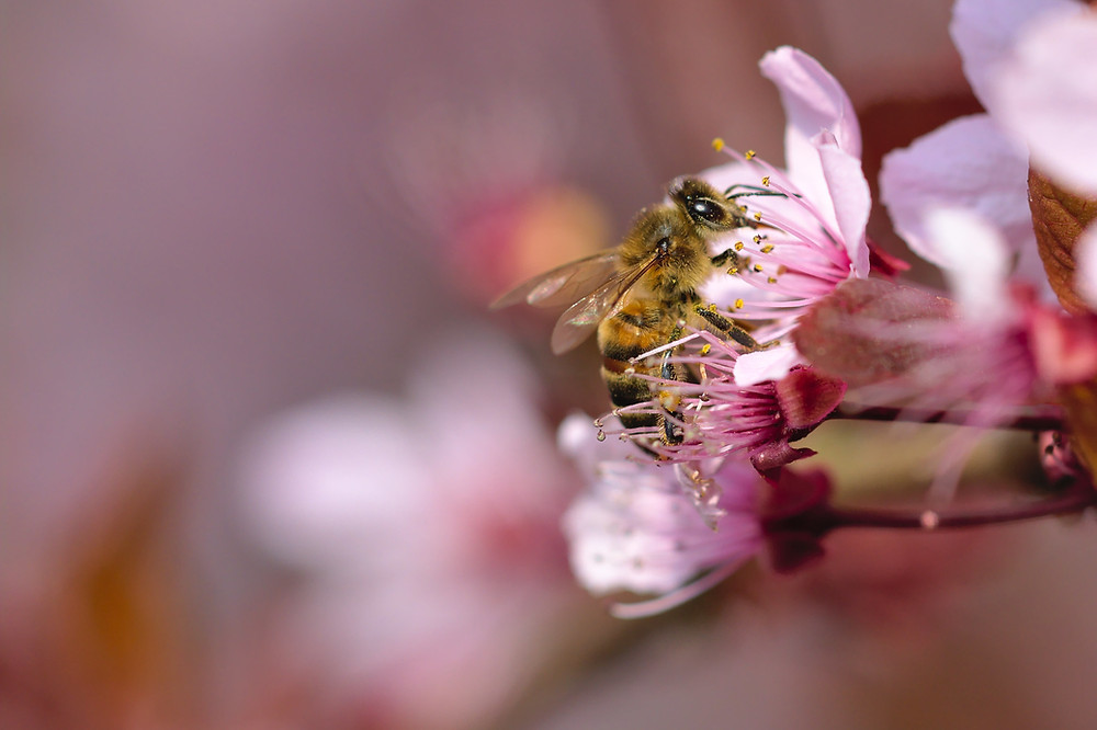 A Honeybee Worker on a pink plum flower - courtesy of Gilles San Martin