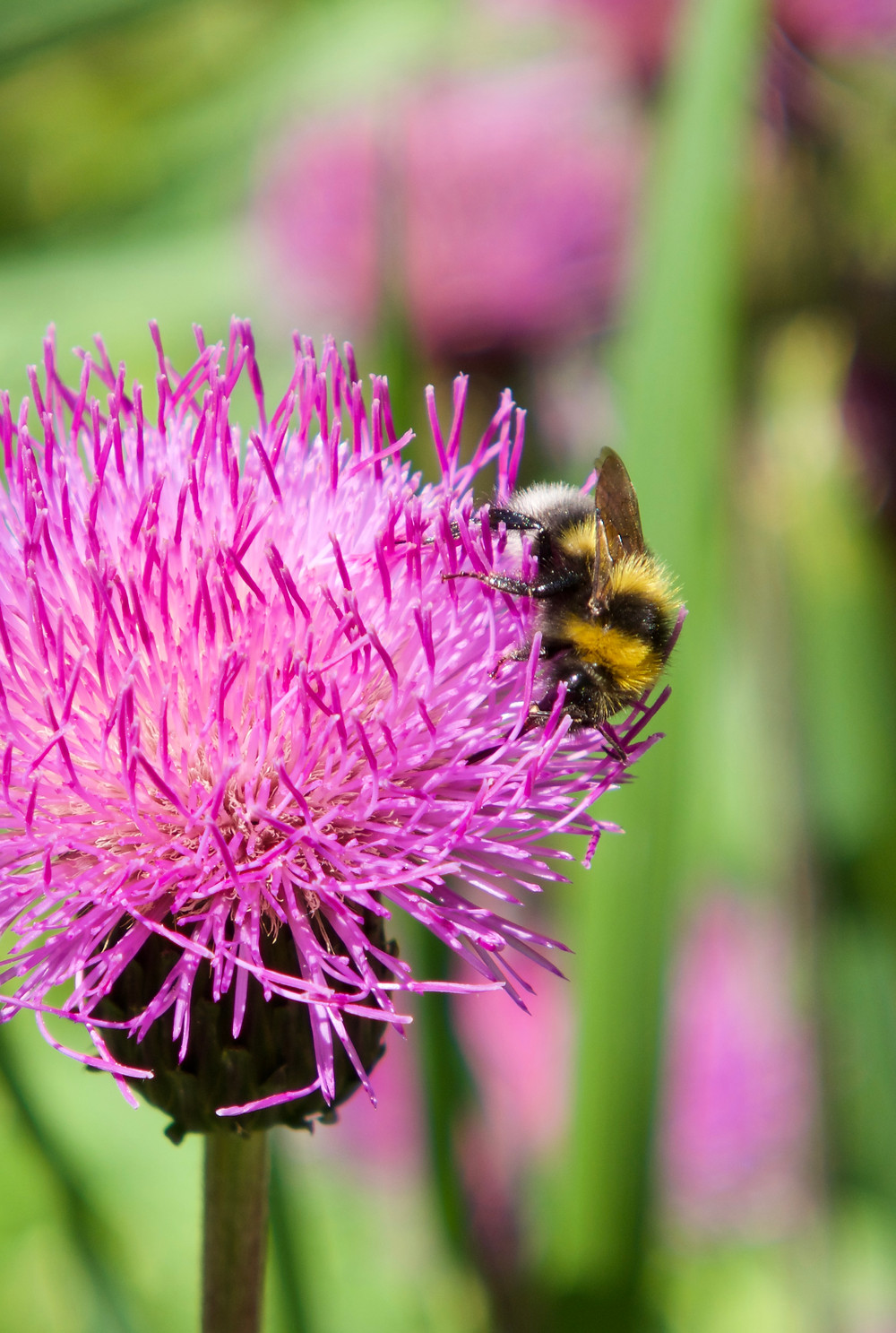 A bright pink thistle, Cirsium heterophyllum, with a white tailed bumblebee