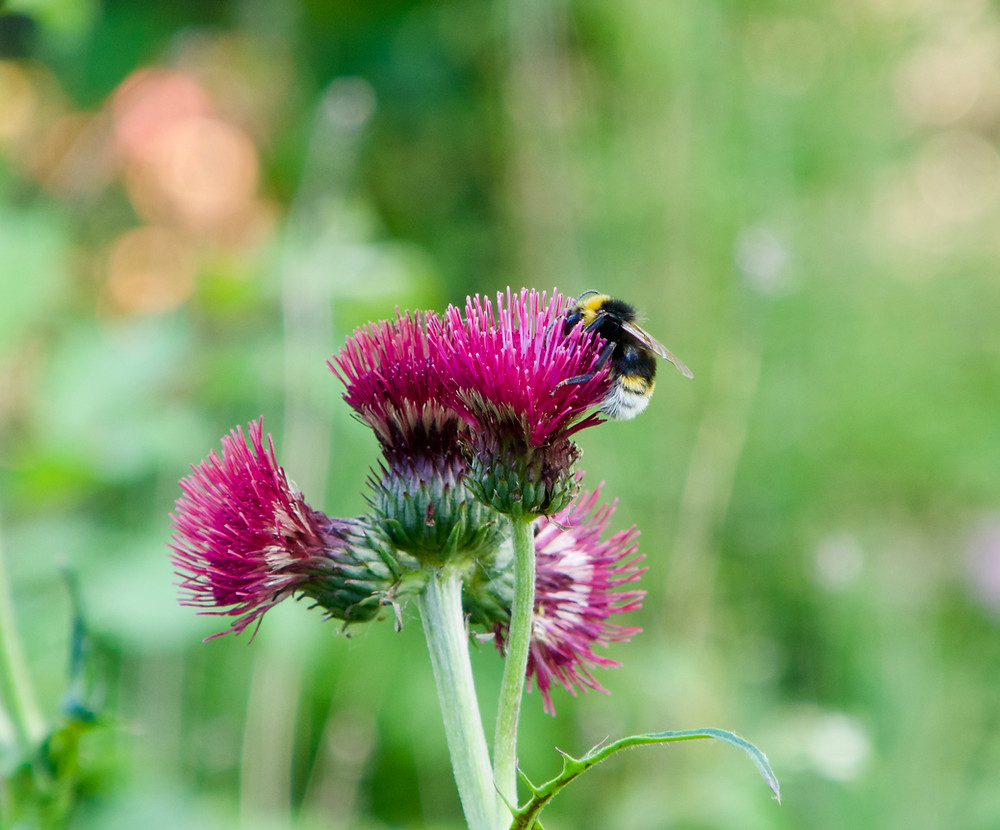 A bumblebee snuffling through a Plume thistle (Cirsium rivulare)