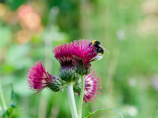 What Do Bumblebees Like? Thistle Do Nicely!