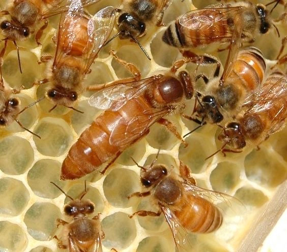 A picture of a queen honeybee on comb - surrounded by worker honeybees