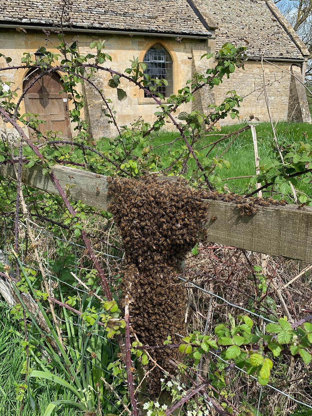 A swarm of honeybees gathered on a fence post before moving to their new home