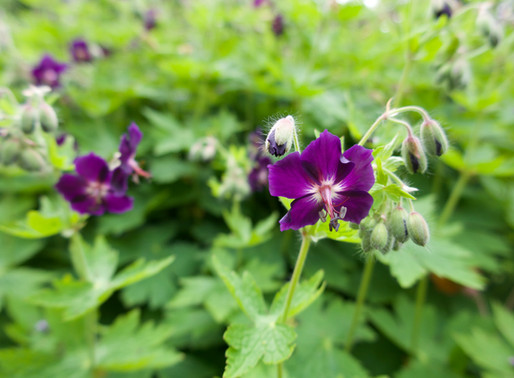 Our bees are loving . . Dusky Cranesbill