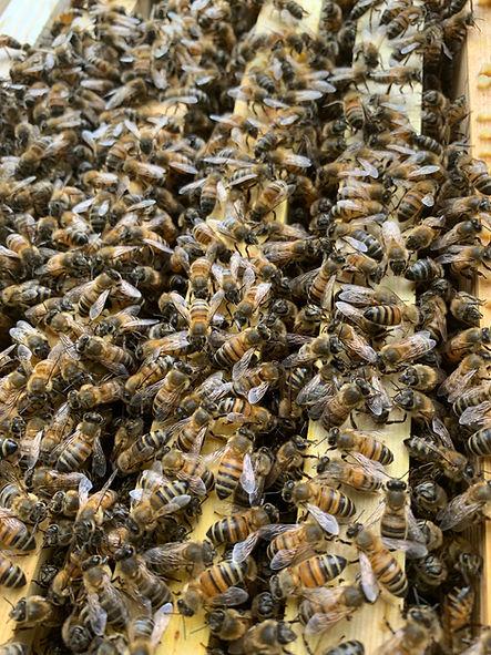 Honeybees on a frame.jpg