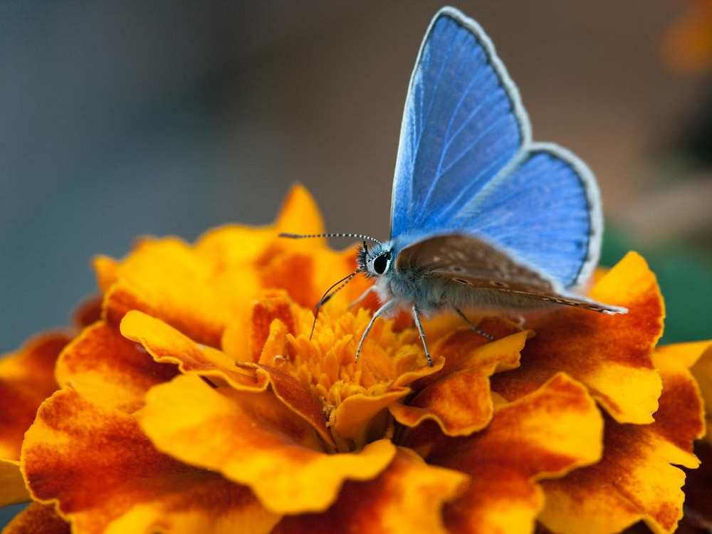 A Common Blue butterfly on a bright orange marigold flower