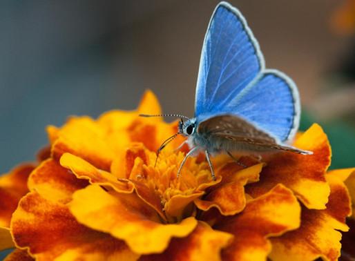 How do I get more butterflies into my garden?