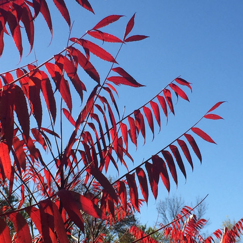 Deep rooted native Sumac helps prevent erosion