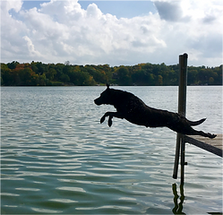 Dog jumping off dock into still lake water