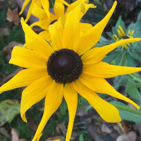 Black Eyed Susans are native plants that help filter contaminents from ground water