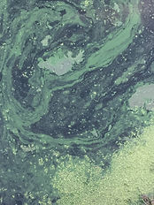 Blue Green Algae in Long Lake Watershed
