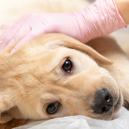 How Much Does It Cost to Treat Parvo?