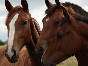 Horse Illness