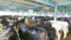 岐阜県中央家畜市場の家畜係留風景