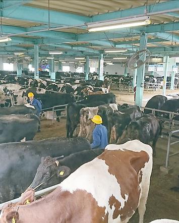 岐阜県中央家畜市場の家畜係留