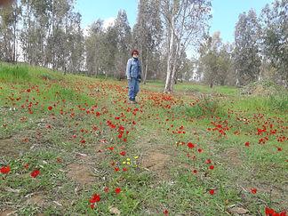 Anemones in Kibbutz Bari.jpg