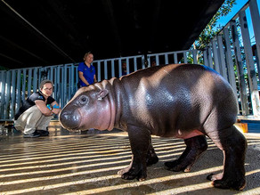 Baby Hippo Imaged on Vimago™ by Mobile Pet Imaging