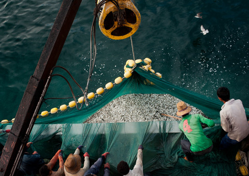 The catch is scooped up onto the boat in a huge net on an anchovy purse seiner.