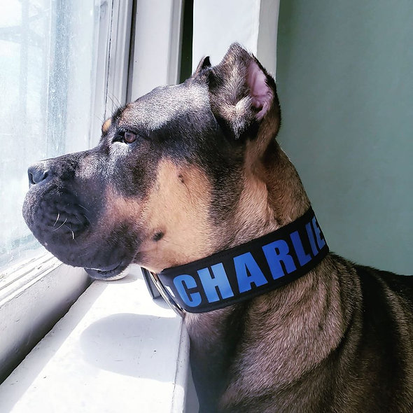 """2"""" Personalized & CAUTION Flat Dog Collars"""