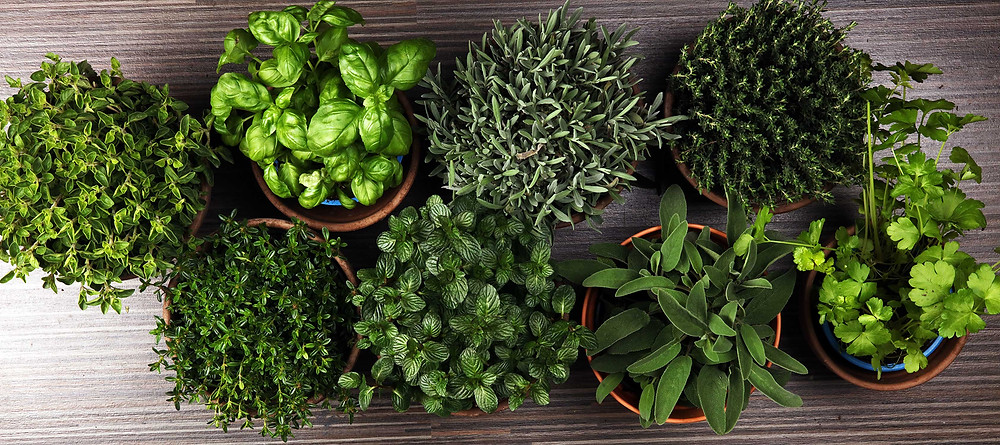 Looking down on eight pots full of a variety of green leafy herbs arranged on a gray wood table.