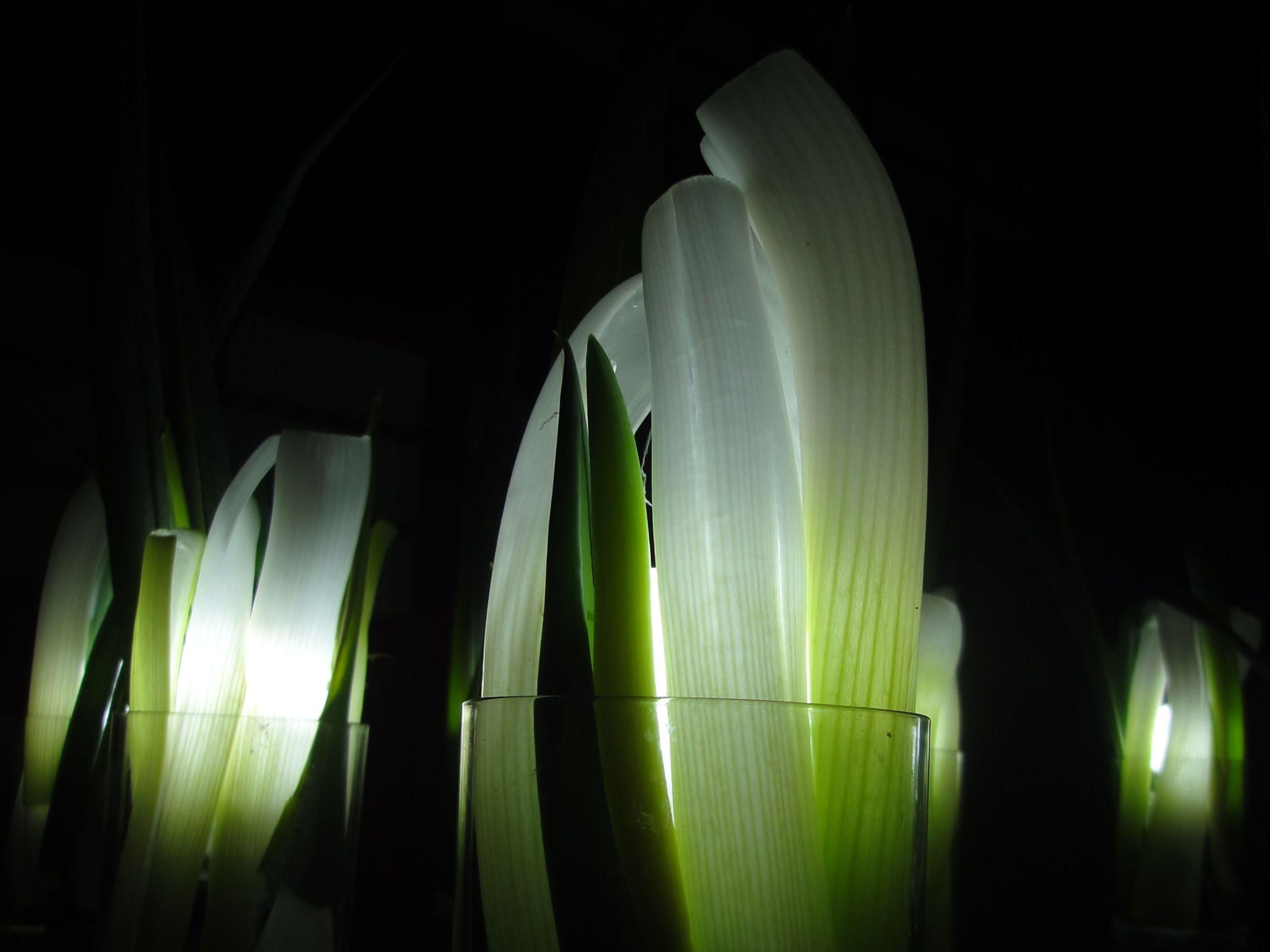 green onions   ネギ