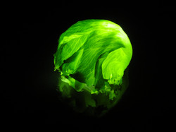 lettuce  レタス