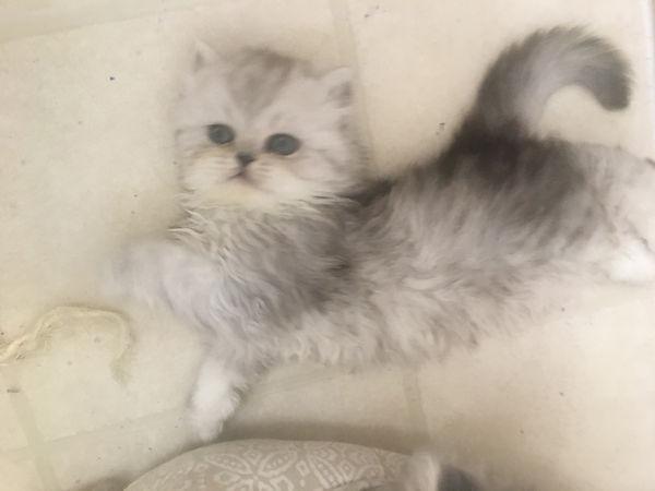 silver kitten.jpeg