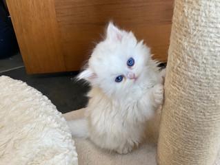SilverMeows fine pure bred Persian kittens