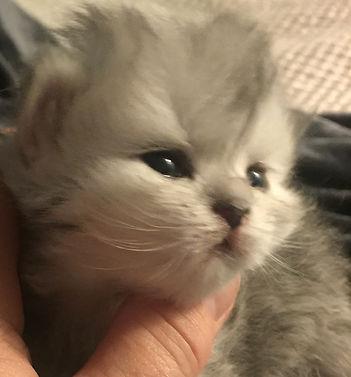 Female silver chinchilla persian kitten 975$