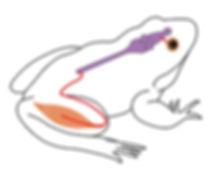 grenouille Ecole vivante 2019.jpg