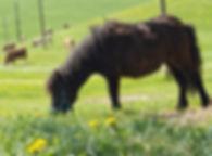 Ponys zum Reiten für Kinder